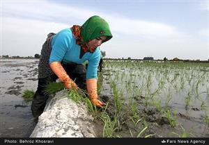 رنج بي مزد زنان شاليكار